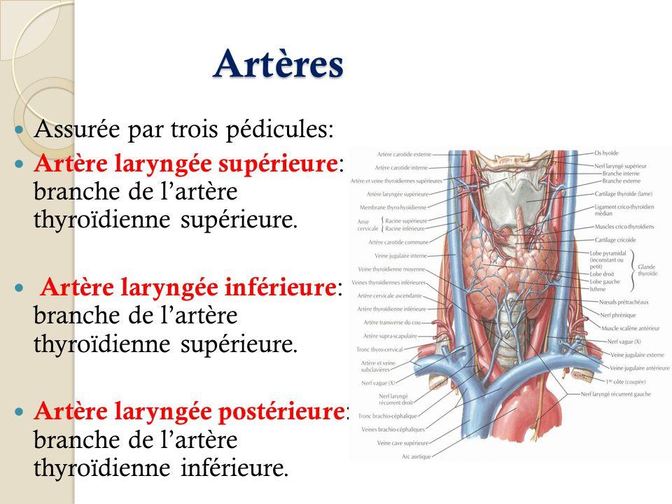 Artères Assurée par trois pédicules: Artère laryngée supérieure : branche de lartère thyroïdienne supérieure. Artère laryngée inférieure : branche de