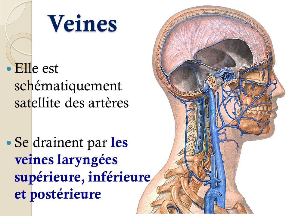 Veines Elle est schématiquement satellite des artères Se drainent par les veines laryngées supérieure, inférieure et postérieure