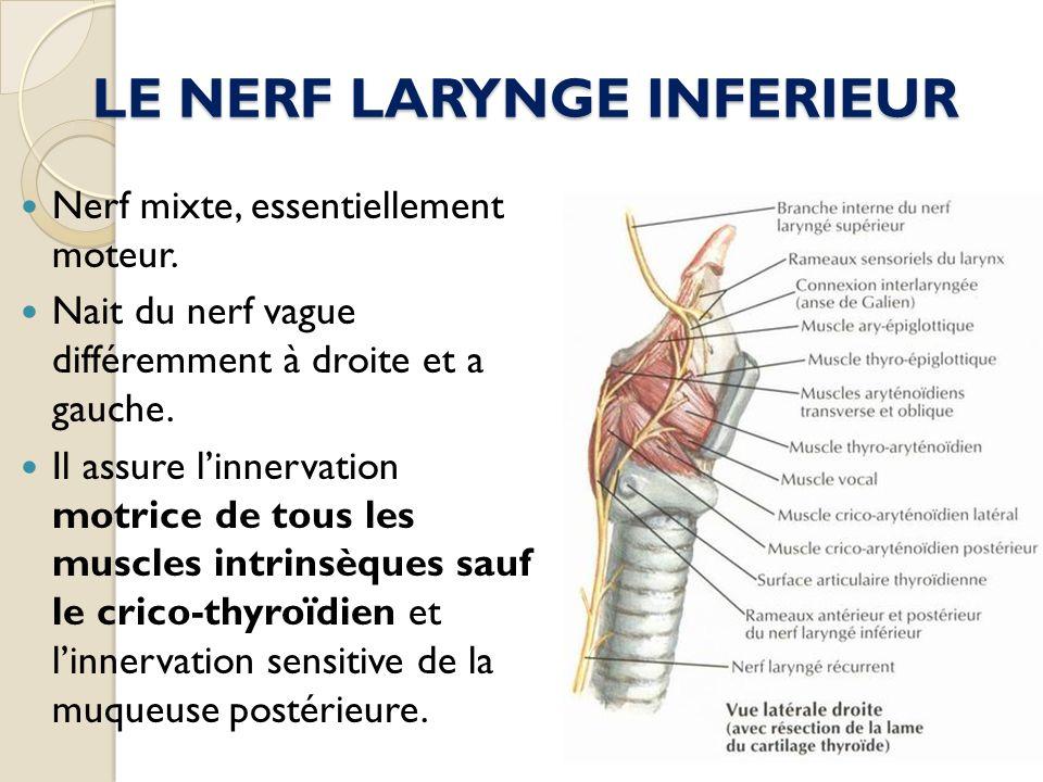 LE NERF LARYNGE INFERIEUR Nerf mixte, essentiellement moteur. Nait du nerf vague différemment à droite et a gauche. Il assure linnervation motrice de