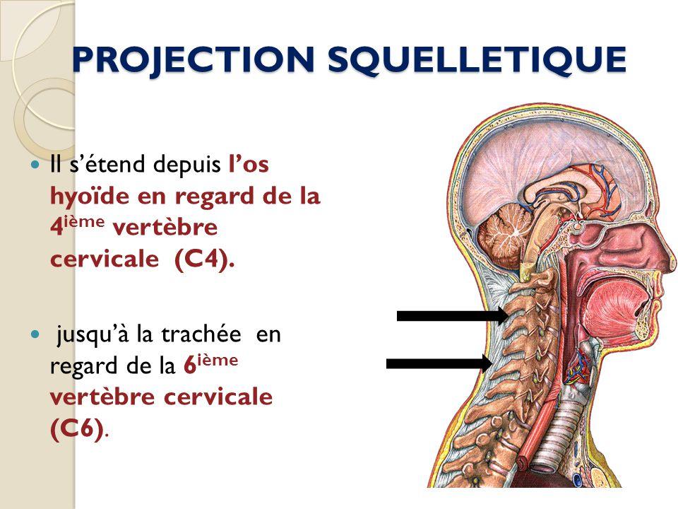 PROJECTION SQUELLETIQUE Il sétend depuis los hyoïde en regard de la 4 ième vertèbre cervicale (C4). jusquà la trachée en regard de la 6 ième vertèbre