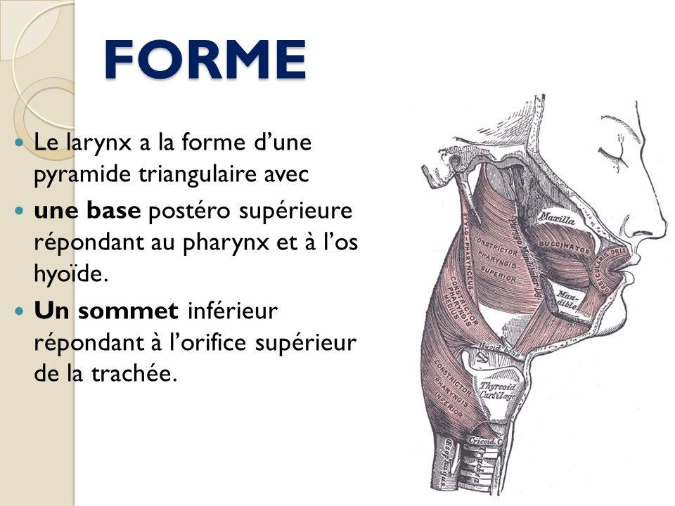 FORME Le larynx a la forme dune pyramide triangulaire avec une base postéro supérieure répondant au pharynx et à los hyoïde. Un sommet inférieur répon