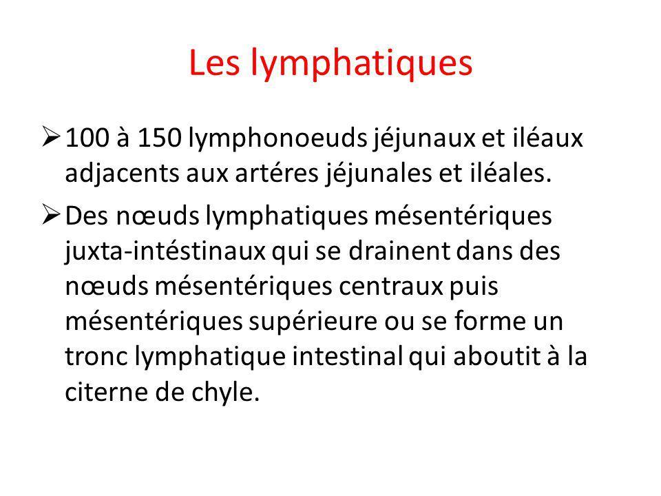 Les lymphatiques 100 à 150 lymphonoeuds jéjunaux et iléaux adjacents aux artéres jéjunales et iléales. Des nœuds lymphatiques mésentériques juxta-inté