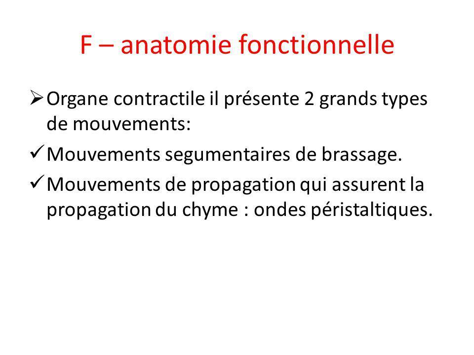 F – anatomie fonctionnelle Organe contractile il présente 2 grands types de mouvements: Mouvements segumentaires de brassage. Mouvements de propagatio