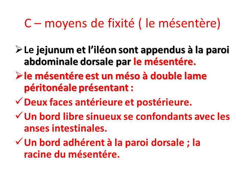 C – moyens de fixité ( le mésentère) jejunum et liléon sont appendus à la paroi abdominale dorsale par le mésentére. Le jejunum et liléon sont appendu