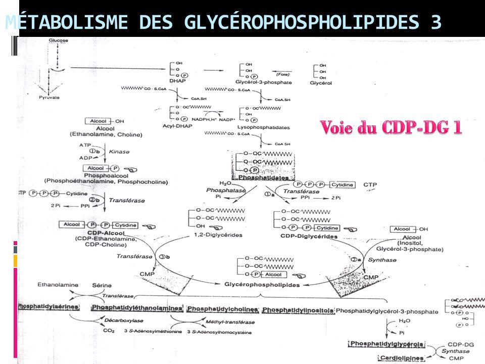MÉTABOLISME DES GLYCÉROPHOSPHOLIPIDES 3