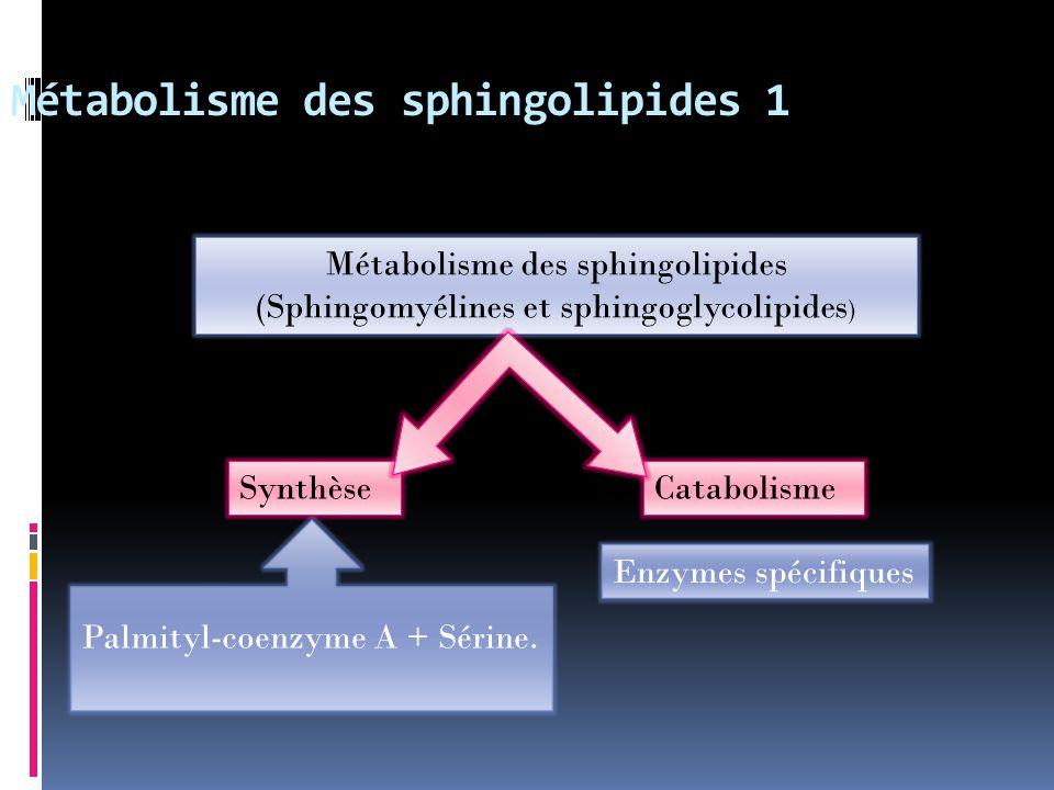 Métabolisme des sphingolipides 1 SynthèseCatabolisme Enzymes spécifiques Palmityl-coenzyme A + Sérine. Métabolisme des sphingolipides (Sphingomyélines