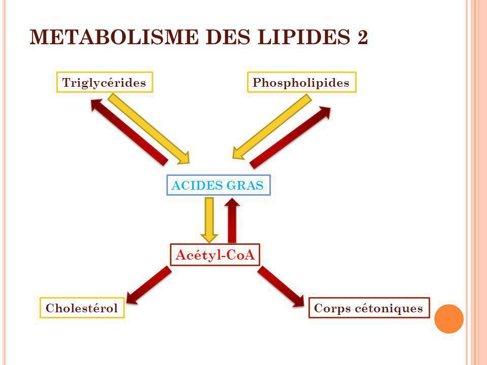 METABOLISME DES LIPIDES 2 Phospholipides ACIDES GRAS Acétyl-CoA Corps cétoniquesCholestérol Triglycérides