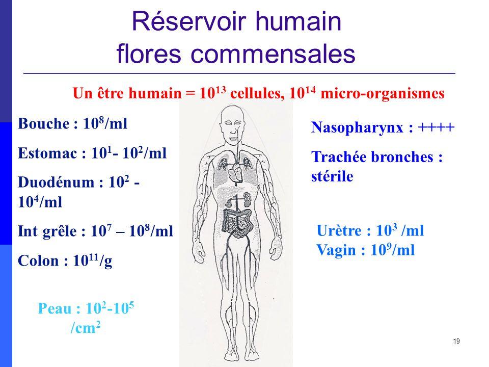 19 Réservoir humain flores commensales Un être humain = 10 13 cellules, 10 14 micro-organismes Bouche : 10 8 /ml Estomac : 10 1 - 10 2 /ml Duodénum :