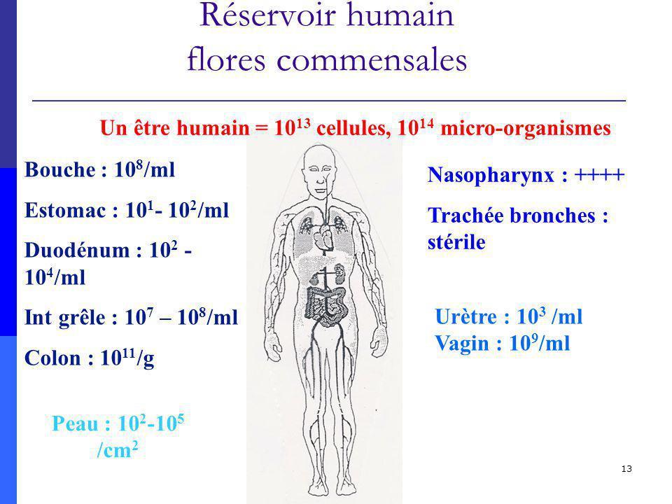 13 Réservoir humain flores commensales Un être humain = 10 13 cellules, 10 14 micro-organismes Bouche : 10 8 /ml Estomac : 10 1 - 10 2 /ml Duodénum : 10 2 - 10 4 /ml Int grêle : 10 7 – 10 8 /ml Colon : 10 11 /g Nasopharynx : ++++ Trachée bronches : stérile Peau : 10 2 -10 5 /cm 2 Urètre : 10 3 /ml Vagin : 10 9 /ml