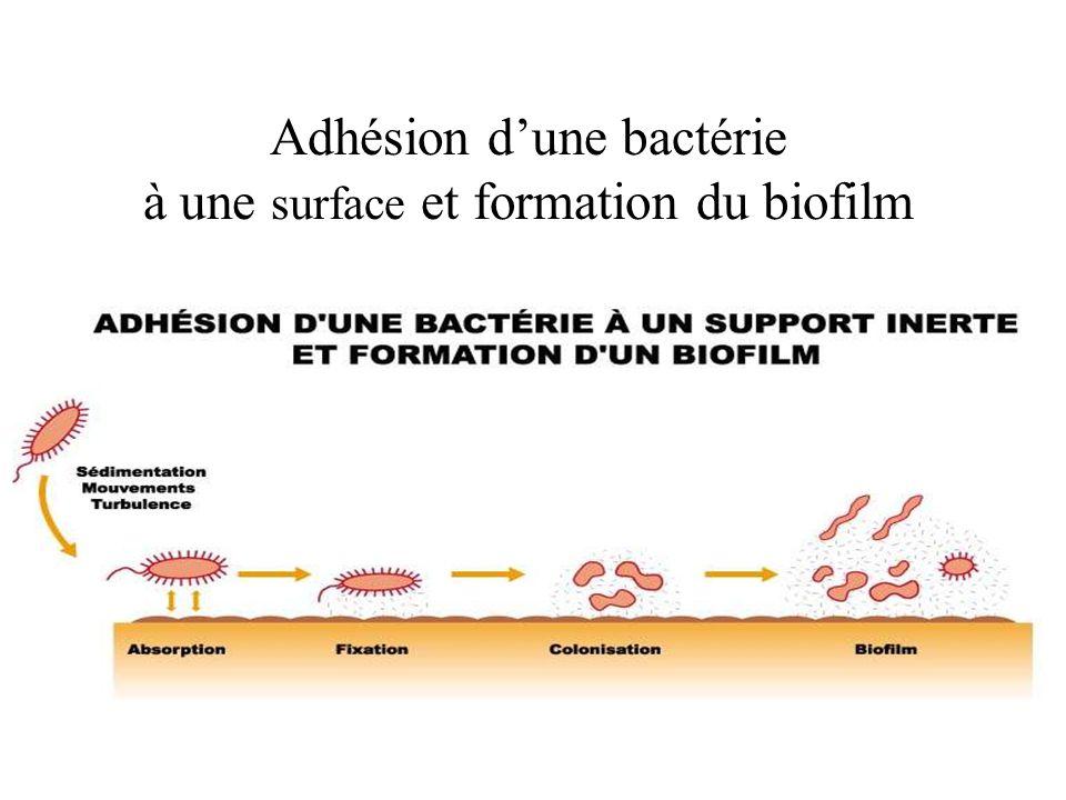 Adhésion dune bactérie à une surface et formation du biofilm