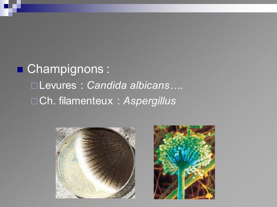Champignons : Levures : Candida albicans…. Ch. filamenteux : Aspergillus