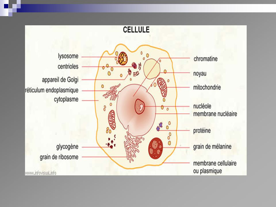 Cellule animale bactériemycesvirus noyaueucaryoteprocaryoteeucaryote Acides nucléiques ADN ARN ADN ARN ADN ARN ADN OU ARN reproducti on mitose Bourgeon nement - sexuée Cellule hôte