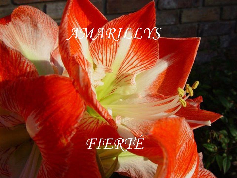 AMARILLYS FIERTÉ