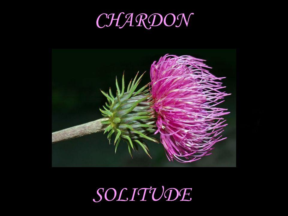 CHARDON SOLITUDE