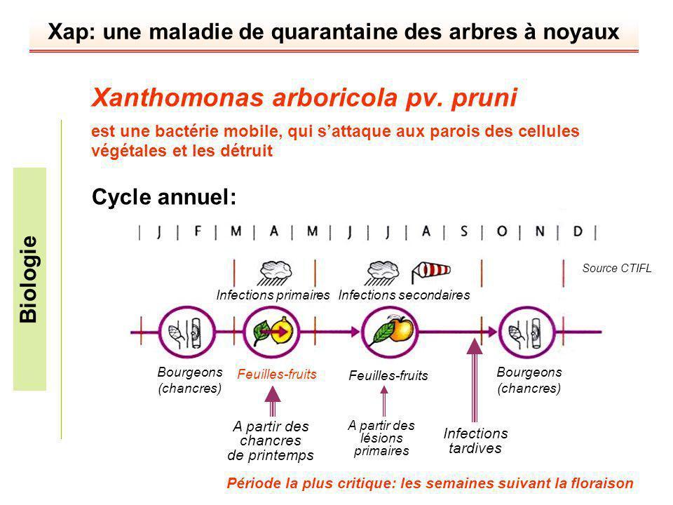 Xap: une maladie de quarantaine des arbres à noyaux Xanthomonas arboricola pv. pruni est une bactérie mobile, qui sattaque aux parois des cellules vég