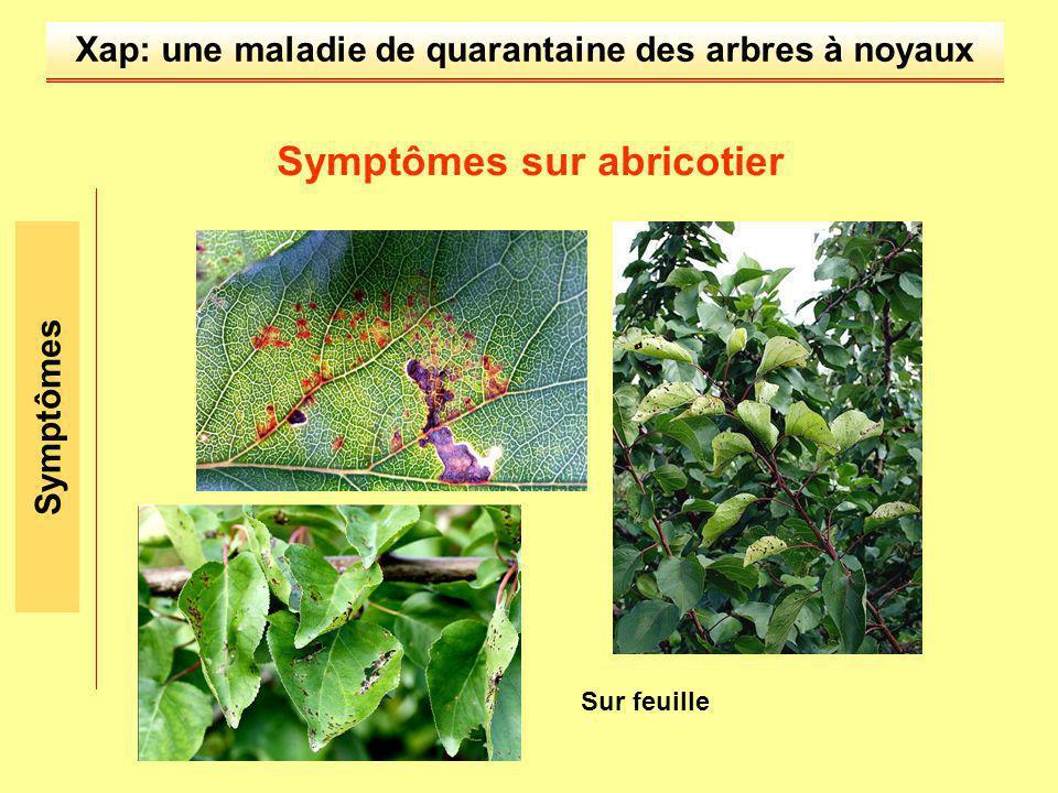 Xap: une maladie de quarantaine des arbres à noyaux Symptômes Symptômes sur abricotier Sur feuille