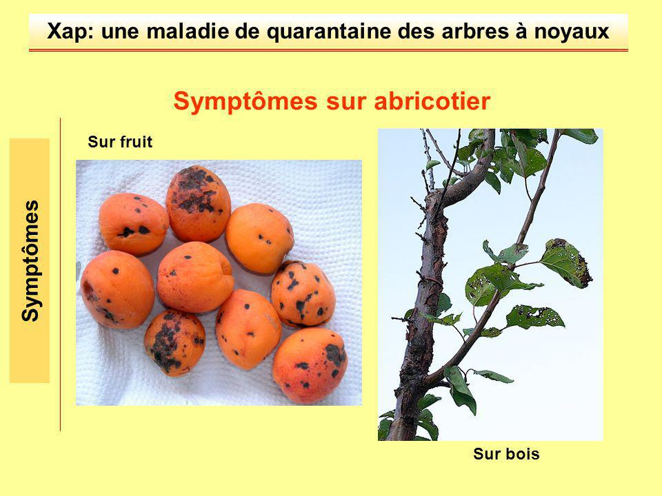 Xap: une maladie de quarantaine des arbres à noyaux Symptômes Symptômes sur abricotier Sur bois Sur fruit