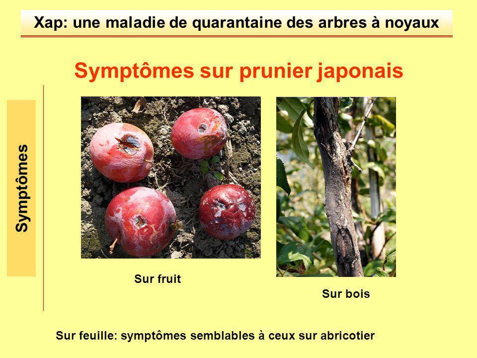 Xap: une maladie de quarantaine des arbres à noyaux Symptômes sur prunier japonais Sur fruit Symptômes Sur feuille: symptômes semblables à ceux sur ab