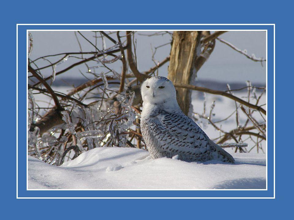 L'harfang des neiges fonde sa famille dans la toundra de l'Amérique du Nord. Quelques spécimens passent l'hiver dans la région où ils habitent. L'harf