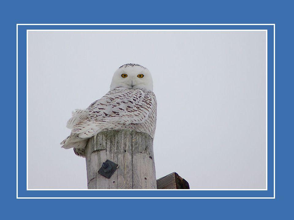 Le harfang des neiges, qui hiverne dans le sud du Canada et dans le nord des États-Unis, reprend le chemin vers le mois de février ou vers le mois de