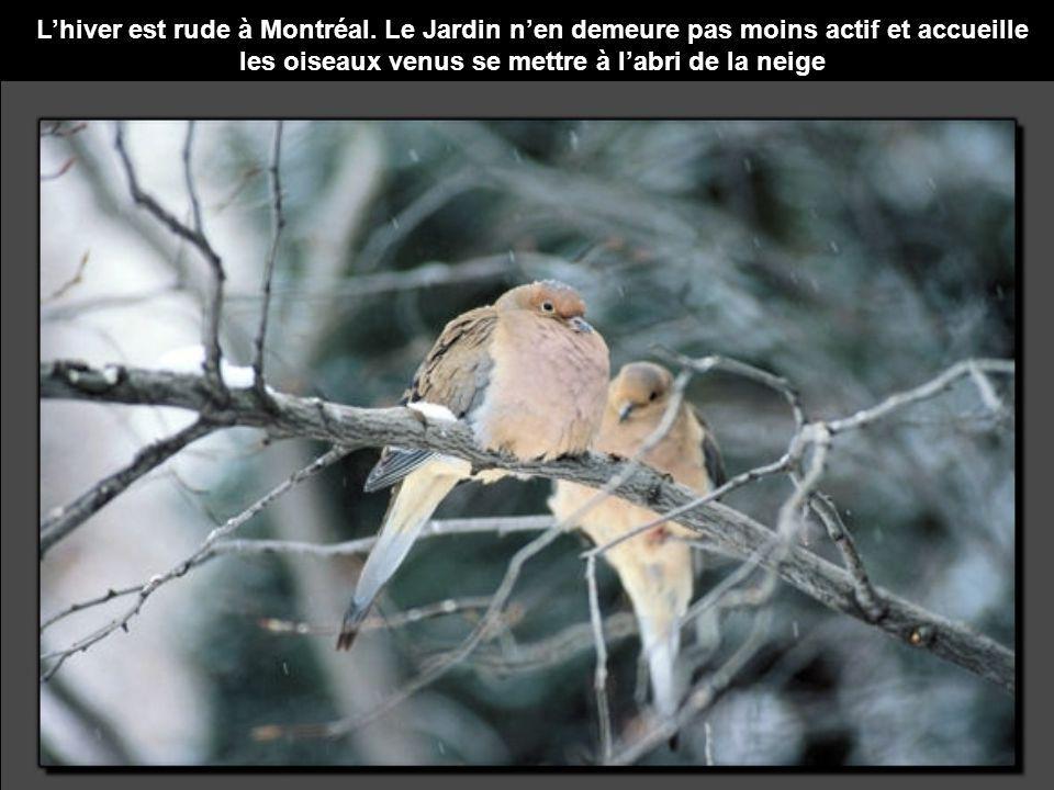 Lhiver est rude à Montréal. Le Jardin nen demeure pas moins actif et accueille les oiseaux venus se mettre à labri de la neige
