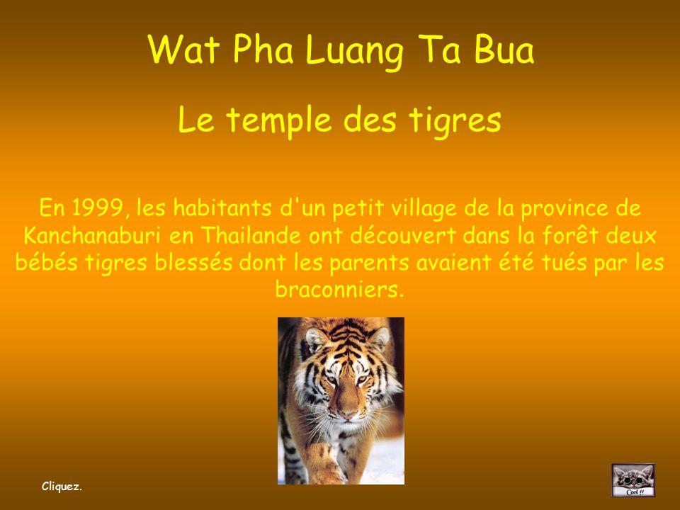 Wat Pha Luang Ta Bua Le temple des tigres En 1999, les habitants d un petit village de la province de Kanchanaburi en Thailande ont découvert dans la forêt deux bébés tigres blessés dont les parents avaient été tués par les braconniers.