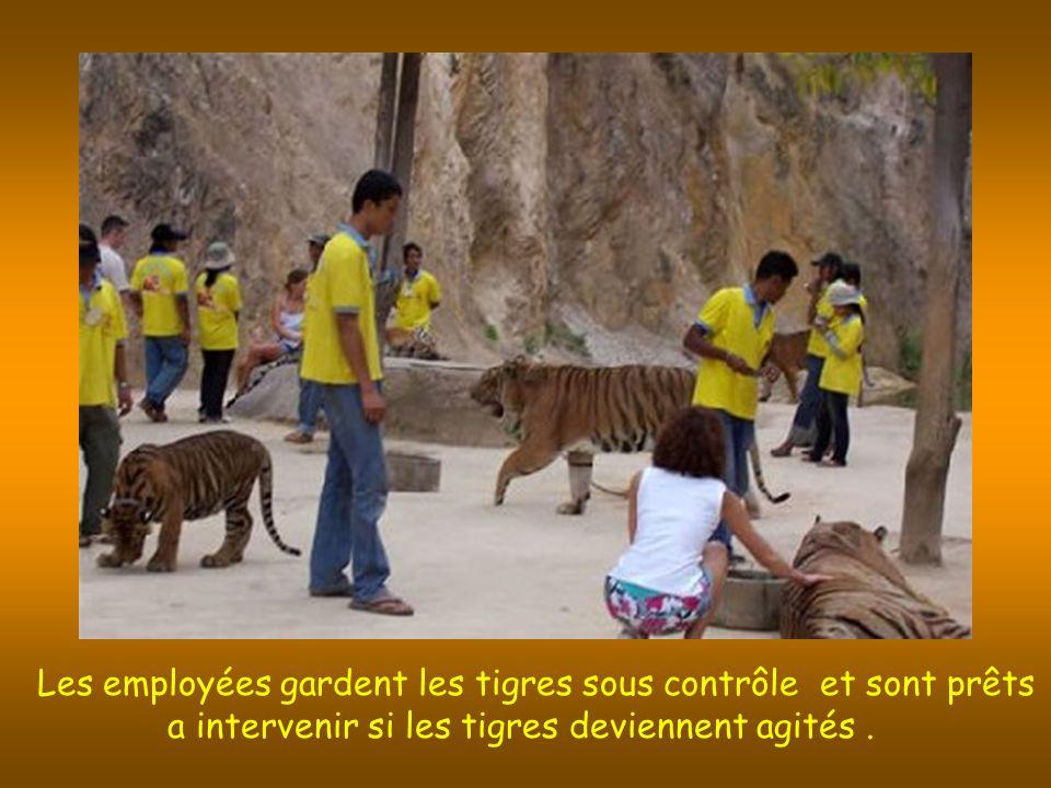 Les employées gardent les tigres sous contrôle et sont prêts a intervenir si les tigres deviennent agités.