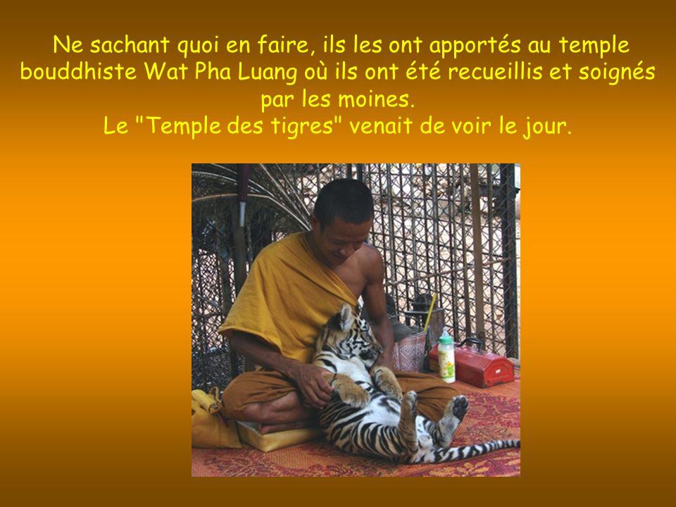 Ne sachant quoi en faire, ils les ont apportés au temple bouddhiste Wat Pha Luang où ils ont été recueillis et soignés par les moines.
