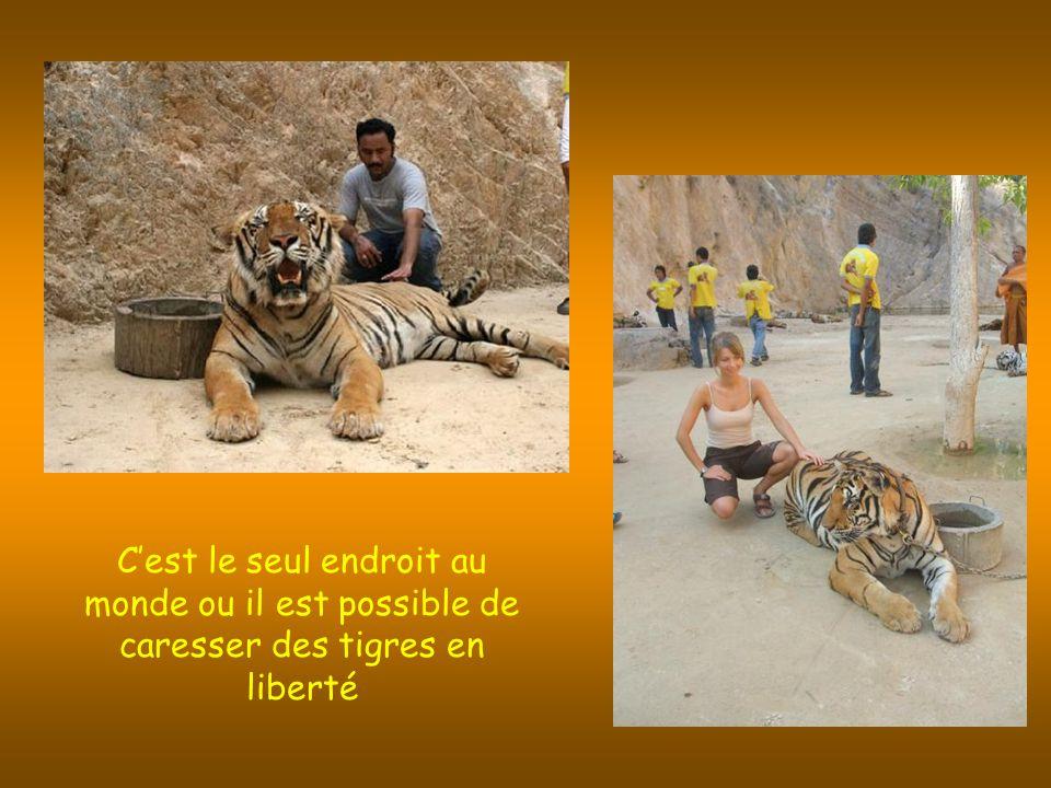 Cest le seul endroit au monde ou il est possible de caresser des tigres en liberté