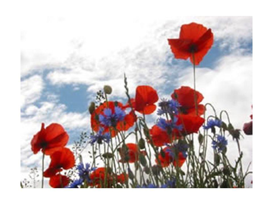 « Ces fleurs Visibles,Tenaces Et modestes Me semblent Emblématiques De la Vie » Henry Bauchau