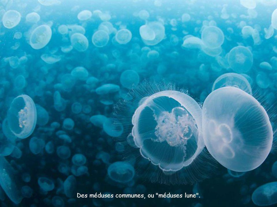 Des méduses communes, ou méduses lune .