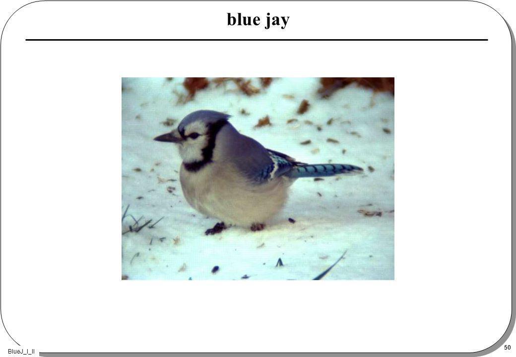 BlueJ_I_II 50 blue jay