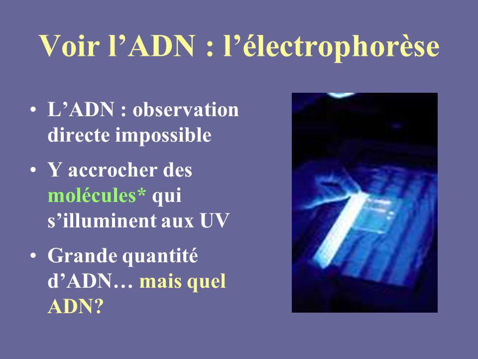 Voir lADN : lélectrophorèse LADN : observation directe impossible Y accrocher des molécules* qui silluminent aux UV Grande quantité dADN… mais quel AD