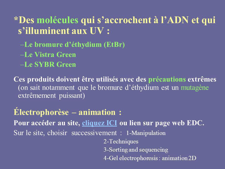 *Des molécules qui saccrochent à lADN et qui silluminent aux UV : –Le bromure déthydium (EtBr) –Le Vistra Green –Le SYBR Green Ces produits doivent êt