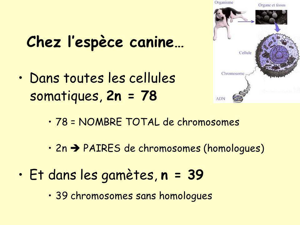 Chez lespèce canine… Dans toutes les cellules somatiques, 2n = 78 78 = NOMBRE TOTAL de chromosomes 2n PAIRES de chromosomes (homologues) Et dans les gamètes, n = 39 39 chromosomes sans homologues