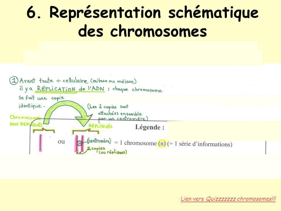 6. Représentation schématique des chromosomes Répliqués vs non répliqués État diploïde (paires dhomologues, 2n) vs haploïde (n) Lien vers Quizzzzzzz c