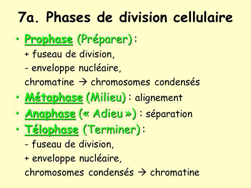 7a. Phases de division cellulaire Prophase (Préparer)Prophase (Préparer) : + fuseau de division, - enveloppe nucléaire, chromatine chromosomes condens