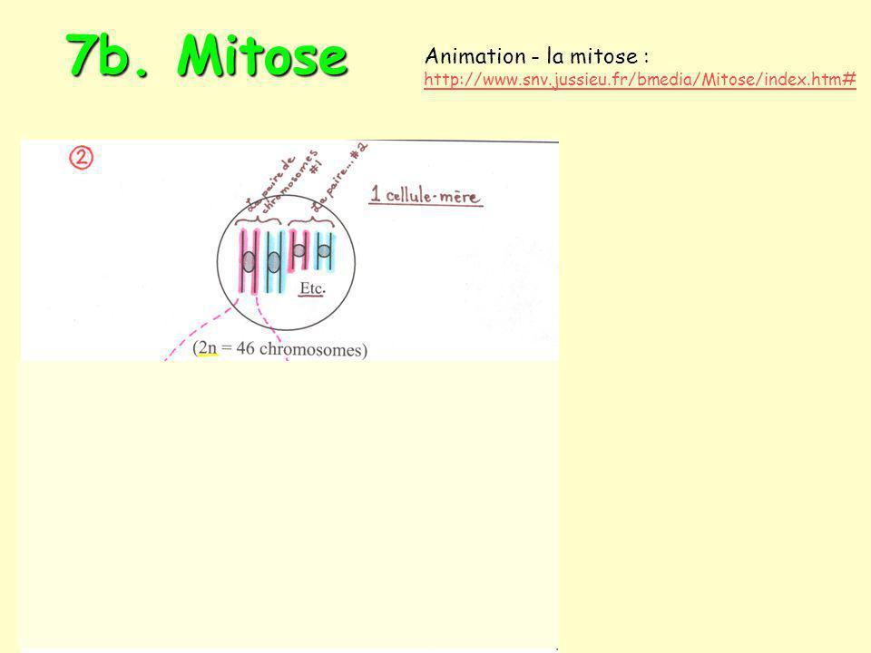 7c. Méiose I (réductionnelle) 7c. Méiose II (équationnelle)