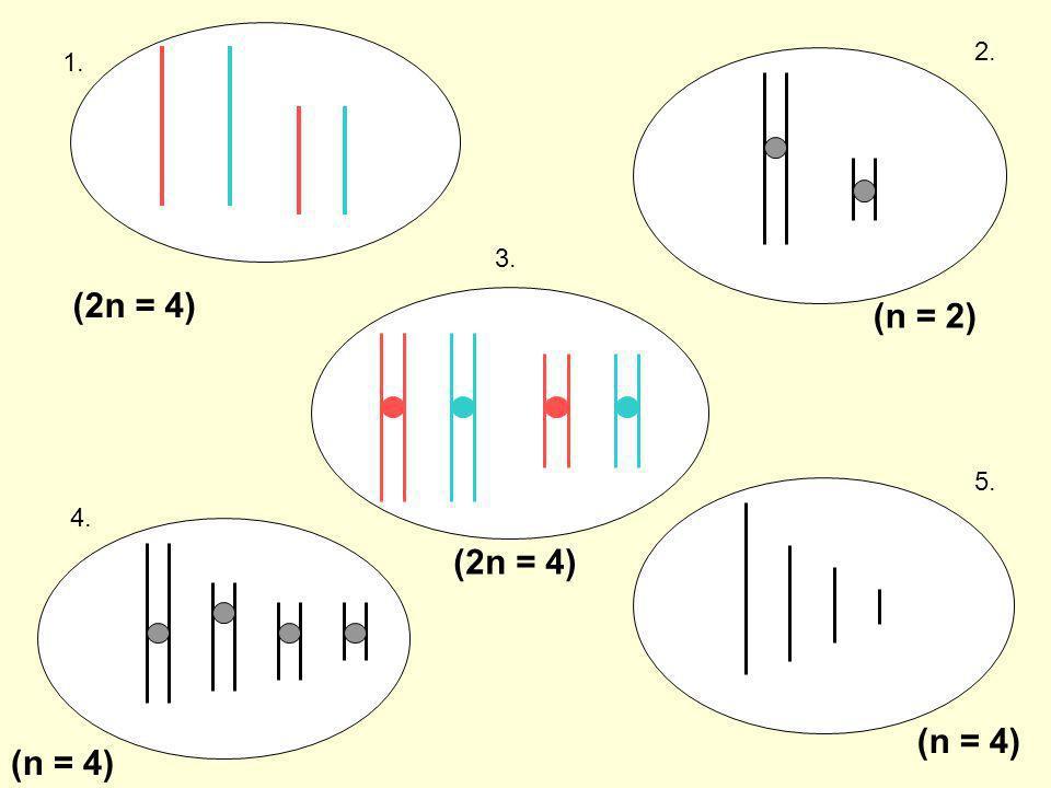 1. 2. 3. 4. 5. (2n = 4) (n = 2) (2n = 4) (n = 4)