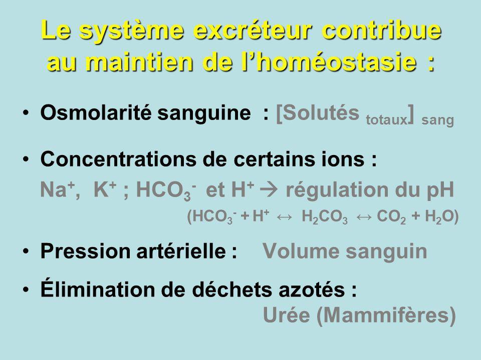 Le système excréteur contribue au maintien de lhoméostasie : Osmolarité sanguine : [Solutés totaux ] sang Concentrations de certains ions : Na +, K +