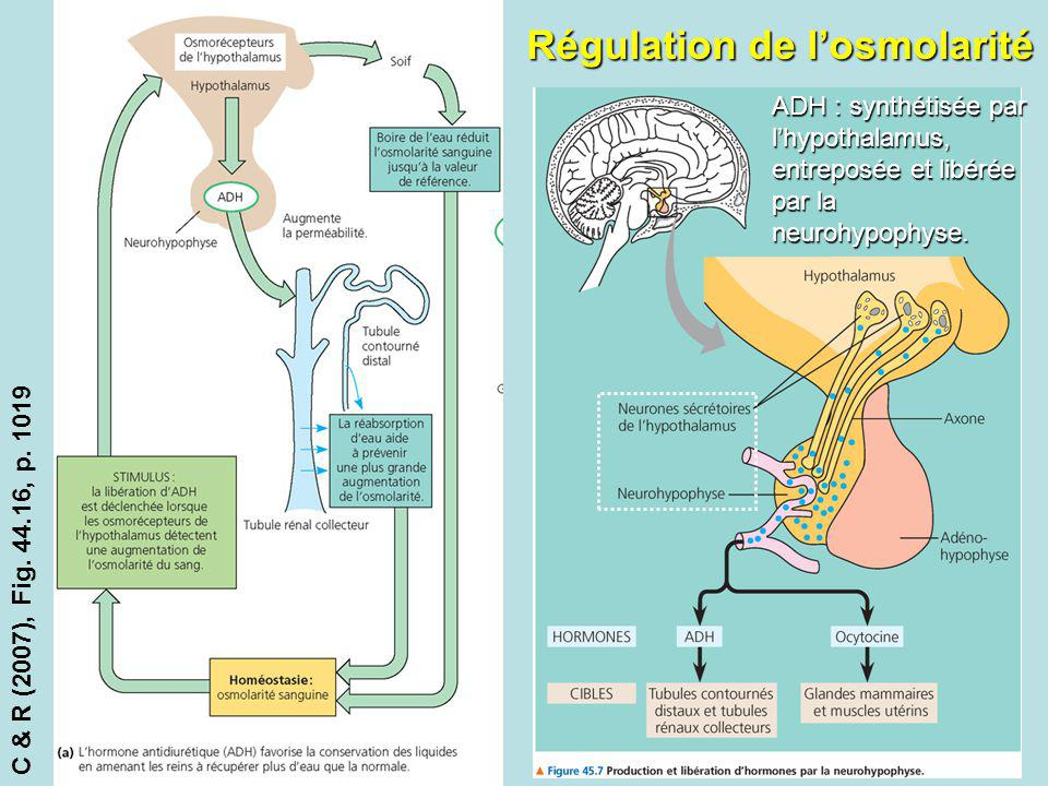 Régulation de losmolarité C & R (2007), Fig. 44.16, p. 1019 ADH : synthétisée par lhypothalamus, entreposée et libérée par la neurohypophyse.