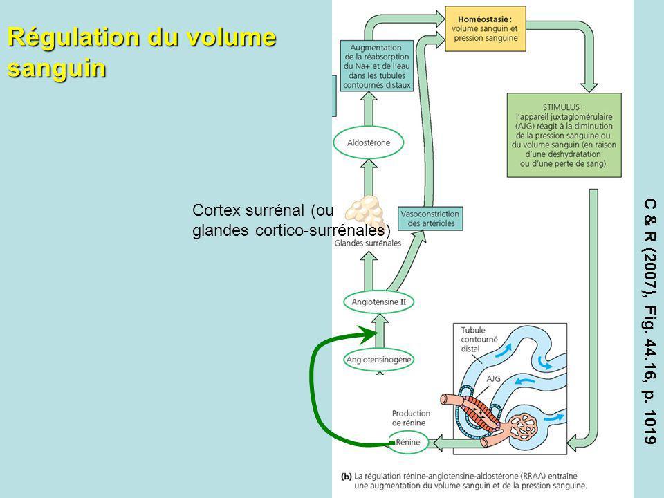 Régulation du volume sanguin C & R (2007), Fig. 44.16, p. 1019 Cortex surrénal (ou glandes cortico-surrénales)