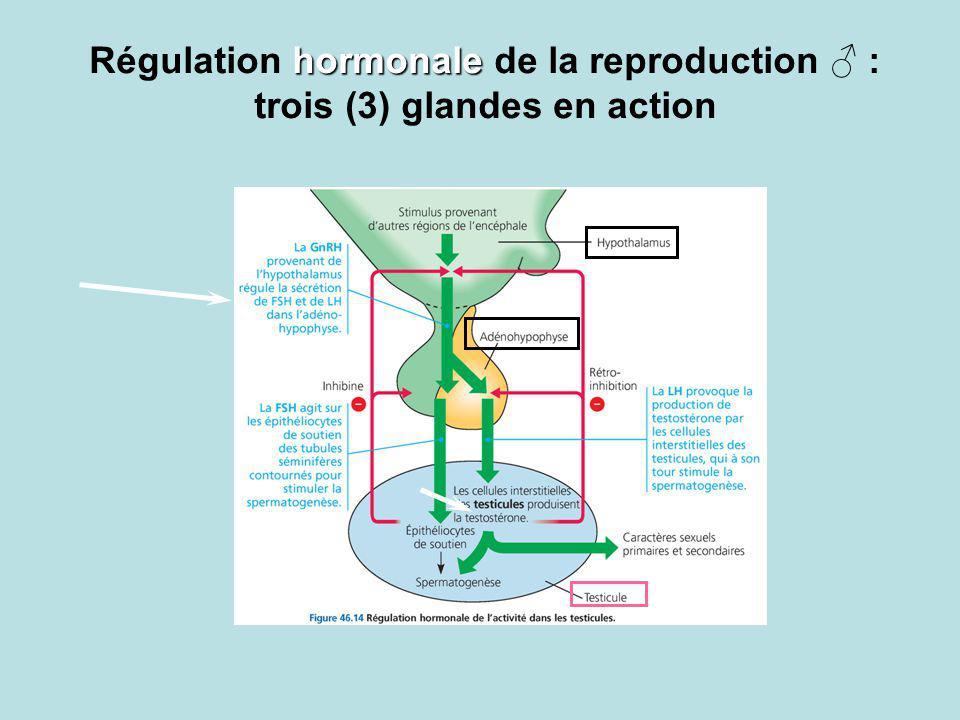 hormonale Régulation hormonale de la reproduction : trois (3) glandes en action