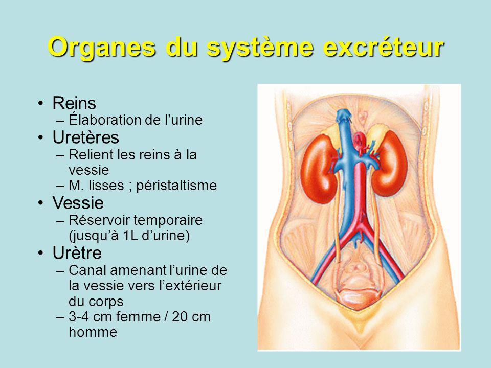 Organes du système excréteur Reins –Élaboration de lurine Uretères –Relient les reins à la vessie –M. lisses ; péristaltisme Vessie –Réservoir tempora