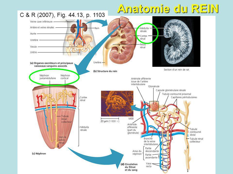 C & R (2007), Fig. 44.13, p. 1103 Anatomie du REIN