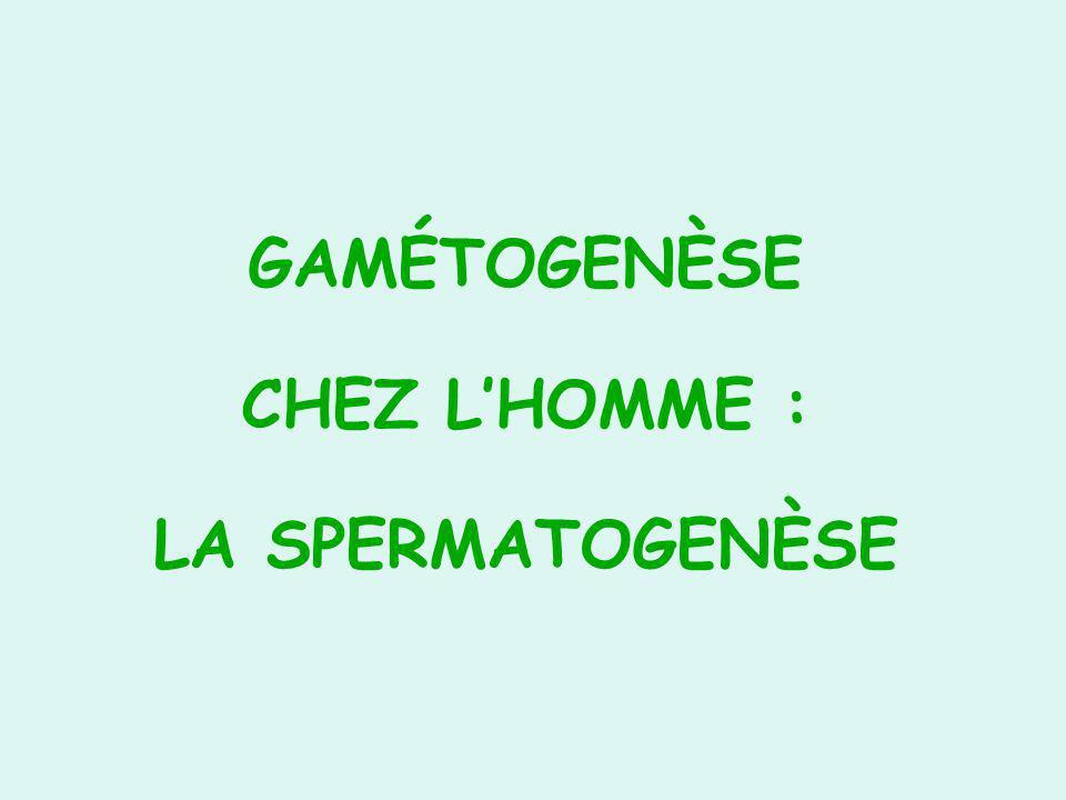 GAMÉTOGENÈSE CHEZ LHOMME : LA SPERMATOGENÈSE