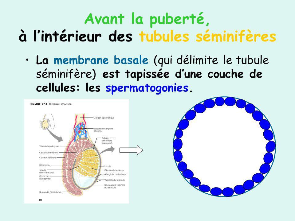 Avant la puberté, à lintérieur des tubules séminifères La membrane basale (qui délimite le tubule séminifère) est tapissée dune couche de cellules: le