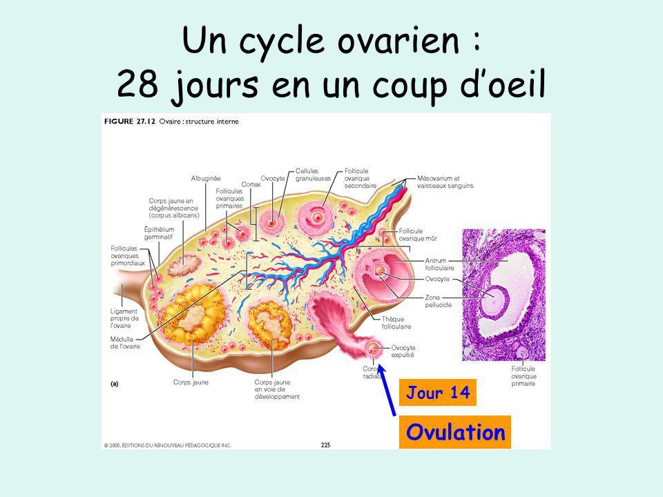 Un cycle ovarien : 28 jours en un coup doeil Jour 14 Ovulation