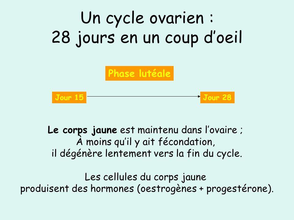 Un cycle ovarien : 28 jours en un coup doeil Jour 15Jour 28 Phase lutéale Le corps jaune est maintenu dans lovaire ; À moins quil y ait fécondation, i