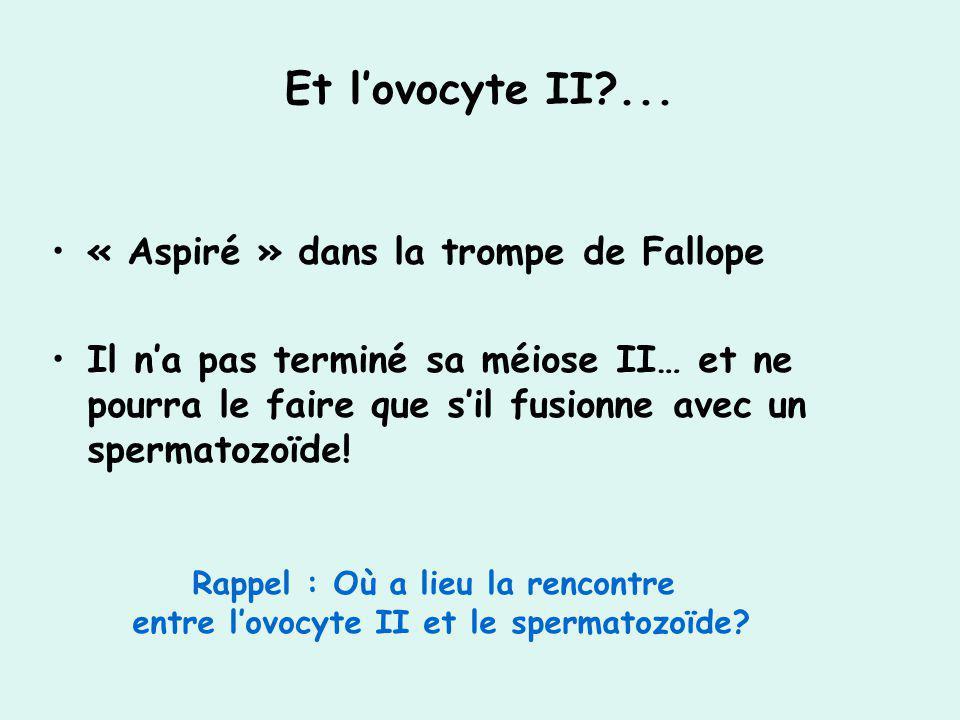 Et lovocyte II?... « Aspiré » dans la trompe de Fallope Il na pas terminé sa méiose II… et ne pourra le faire que sil fusionne avec un spermatozoïde!